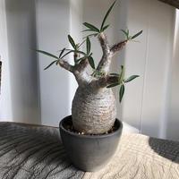 Pachypodium rosulatum var gracilius  GS-034  パキポディウム グラキリス