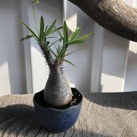 Pachypodium rosulatum var gracilius  GS1-021  パキポディウム グラキリス