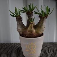 Pachypodium inopinatum No.1  イノピナーツム