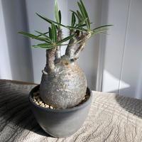 Pachypodium rosulatum var gracilius  GS-037  パキポディウム グラキリス