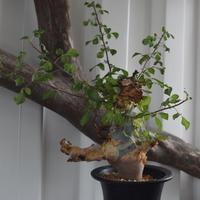 Commiphora kataf turkanensis No.1 コミフォラ カタフ ターカネンシス