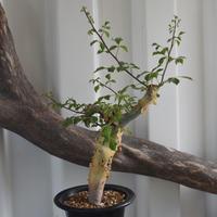 Commiphora kataf turkanensis No.2 コミフォラ カタフ ターカネンシス