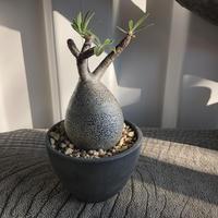 Pachypodium rosulatum var gracilius  GS-047  パキポディウム グラキリス