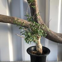 Commiphora humbertii No.7 コミフォラフンベルティ