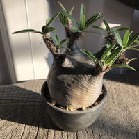 Pachypodium rosulatum var gracilius  GS-056  パキポディウム グラキリス