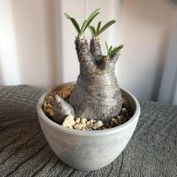 Pachypodium rosulatum var gracilius  GS-065  パキポディウム グラキリス