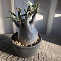Pachypodium rosulatum var gracilius  GS-052  パキポディウム グラキリス