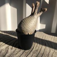 Pachypodium rosulatum var gracilius  GS-043  パキポディウム グラキリス