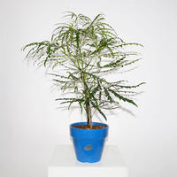 False aralia-2