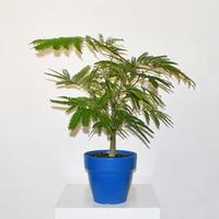 Everfresh Tree