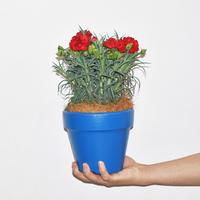 Blue pot carnation