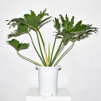 Horsehead philodendron-1