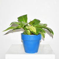 Philodendron 'Imperial Gold'-1