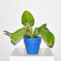 Philodendron 'Imperial Gold'-2