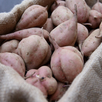 土付き安納芋 生芋 5キロ