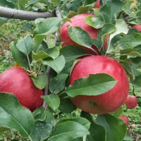 無肥料減農薬シナノスイート(10kg/箱)