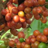 コロンビア : ウイラ地区 ピンクブルボン(中煎り)  160g