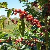 パナマ : ベルリナ農園 ゲイシャ (浅煎り・ナチュラル)80g