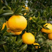 柑橘 100g
