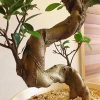 ガジュマル/盆栽仕立て/現品