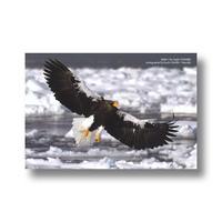 ポストカード【オオワシ】L6873