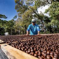 パナマ ハートマン農園 チョチョガロ ナチュラル 200g