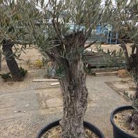 オリーブ古木 樹齢100年 ②