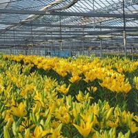 黄色系 ゆりの花束 10本セット