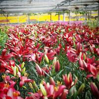 赤色系 ゆりの花束10本セット