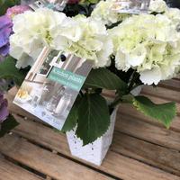 キッチンアジサイ:白花系3.5号白角鉢カバー入り