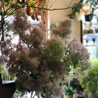 """スモークツリー""""ホワイトファー""""[季節のお花]  5/28-29お届け"""