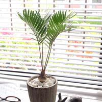観葉植物 ソテツ フロリダーナ