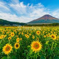 山中湖花の都公園のひまわり(向日葵)と夏の富士山[山中湖村]