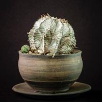 ユーフォルビア ホリダ Euphorbia horrida