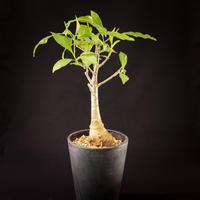 アダンソニア・ディギタータ(バオバブ) Adansonia digitata