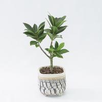 フィカス ミクロカルパ Ficus microcarpa