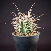 フェロカクタス 白鳥丸 Ferocactus acanthodes v. albispinus