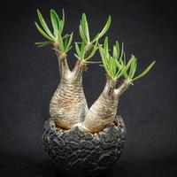 """パキポディウム グラキリス ダブルヘッド Pachypodium rosulatum var.gracilius """"Double head"""""""