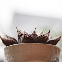 ハオルチア カシミアレッド Haworthia Cachemira vermella