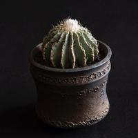 ゲオヒントニアメキシカーナ Geohintonia mexicana