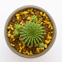 """ユーフォルビア スザンナエ """"ドラゴンボール(瑠璃光)"""".2 Euphorbia suzannae"""