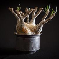 パキポディウム グラキリス Pachypodium rosulatum var.gracilius⑨