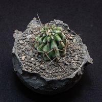 コピアポア シネレア黒王丸.9 Copiapoa cinerea