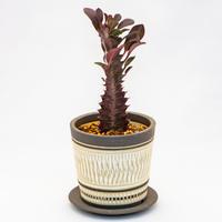 ユーフォルビア・トリゴナ Euphorbia trigona f. rubra