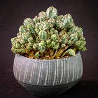 ユーフォルビア エノプラヒール Euphorbia