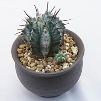ユーフォルビア ホリダ(仔株付き) Euphorbia horrida