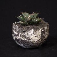 アガベ チタノタ.1 Agave parryi var. truncata