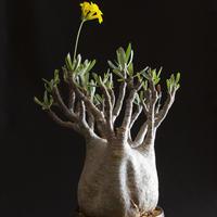 パキポディウム グラキリス Pachypodium rosulatum var.gracilius5
