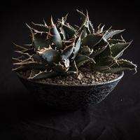 アガベ チタノタ群生 Agave titanota