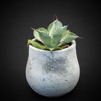 アガベ 風雷神  Agave potatorum variegata 'Huuraijin'